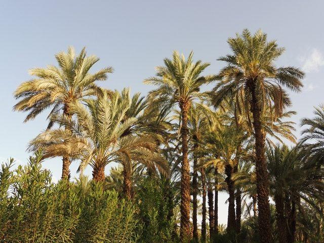 Palmenhain in Zagora